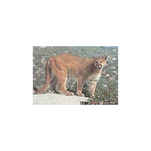 True Life - Cougar
